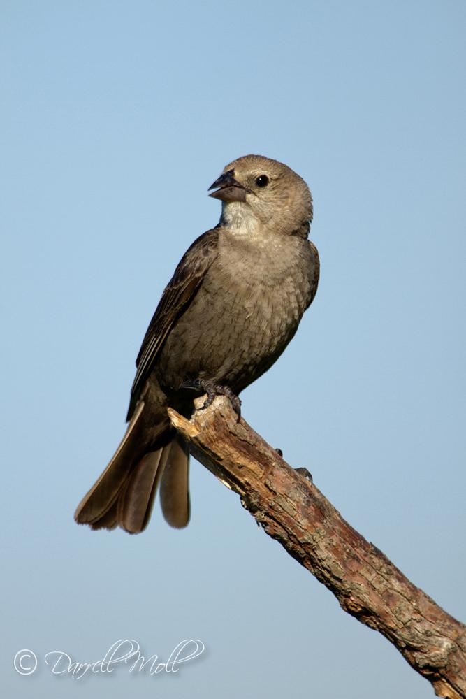 Female Cowbird