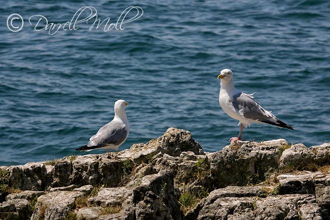 Lake Erie Seagull