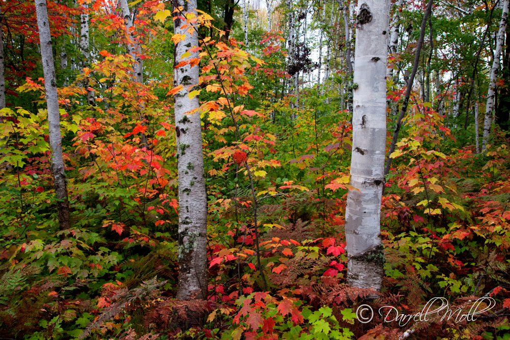 Fall Color & Birch Trees